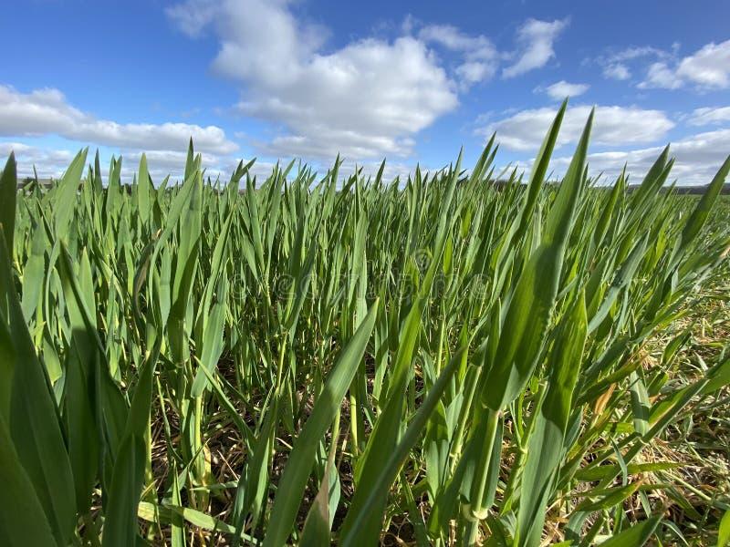Landbouw - landbouw - voedselgewassen royalty-vrije stock afbeelding
