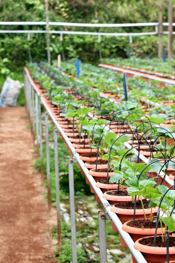 Landbouwbedrijf 02 van de aardbei royalty-vrije stock afbeeldingen