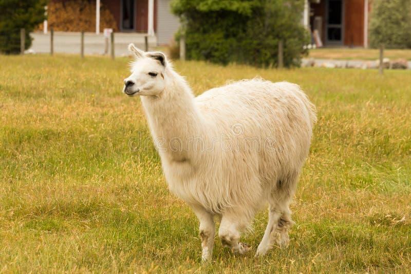 Landbouwbedrijf dierlijke Alpaca over groen glas royalty-vrije stock afbeeldingen