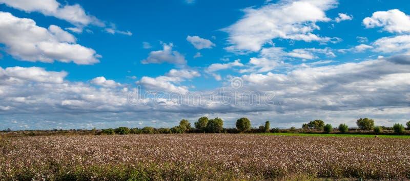 Landbouwbedrijf katoenen aanplantingen stock afbeeldingen