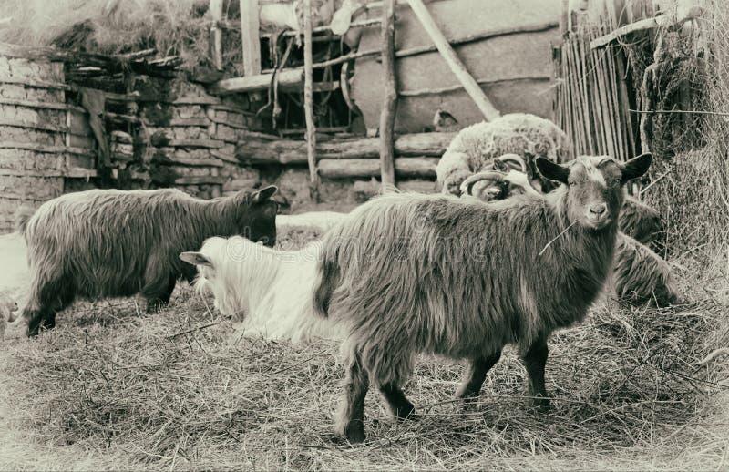 Landbouwbedrijf Schapen in sheepfold Prentbriefkaar met oud effect stock fotografie