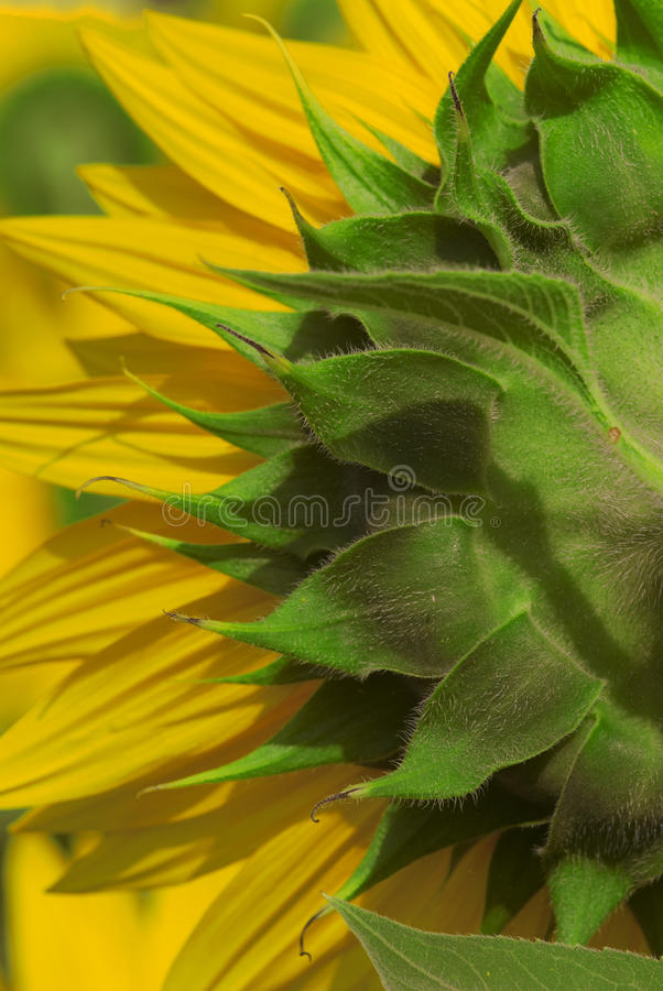 Landbouwbedrijfclose-up van het achtereind van een zonnebloem royalty-vrije stock foto's