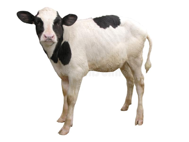 Landbouwbedrijfdieren - Kalfskoe op witte achtergrond wordt geïsoleerd die stock afbeelding