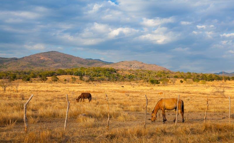 Landbouwbedrijfdieren op weiland op het platteland van Trinidad, Cuba royalty-vrije stock foto