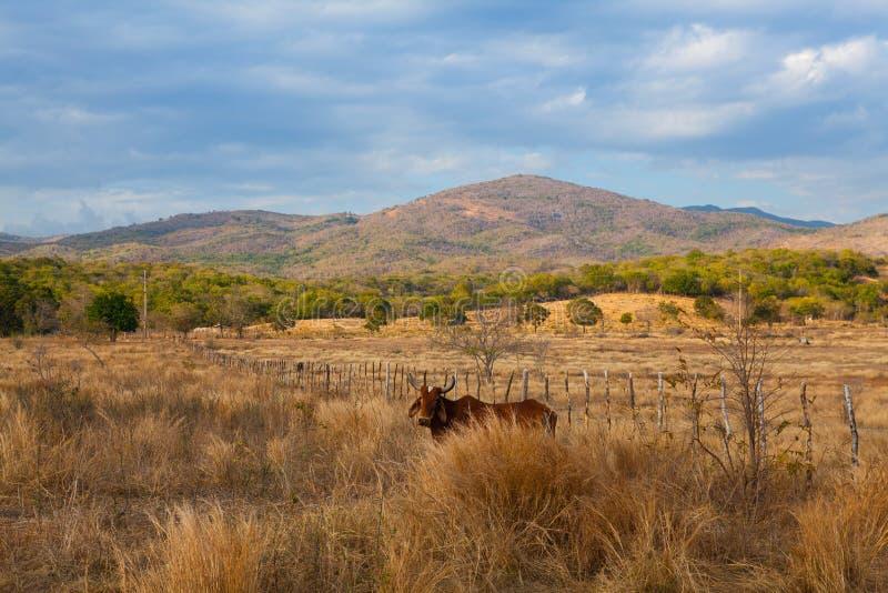 Landbouwbedrijfdieren op weiland op het platteland van Trinidad, Cuba royalty-vrije stock foto's