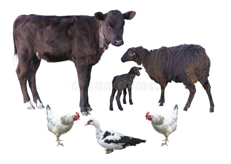 Landbouwbedrijfdieren over wit worden geïsoleerd - kalf, schapen, lam, kip, D die royalty-vrije stock fotografie