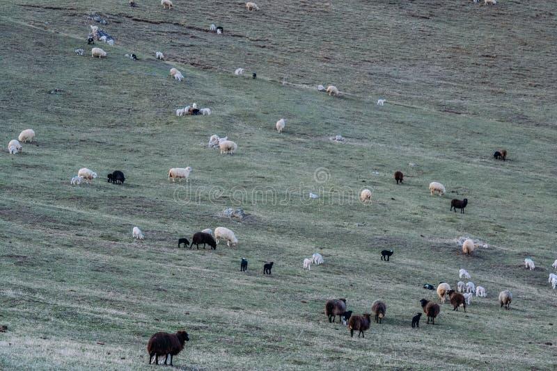 Landbouwbedrijfdieren voor een gang in de dag stock foto