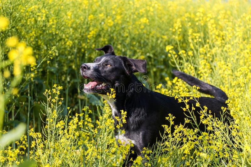 Landbouwbedrijfhond stock foto's