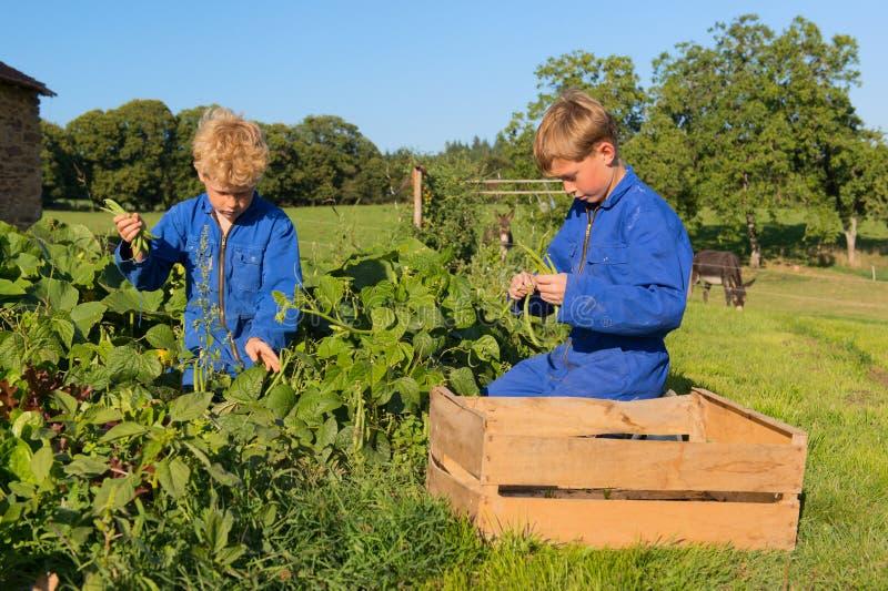 Landbouwbedrijfjongens die in moestuin oogsten royalty-vrije stock afbeeldingen