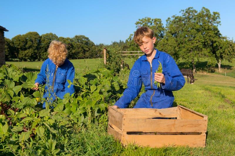 Landbouwbedrijfjongens die in moestuin oogsten stock afbeelding