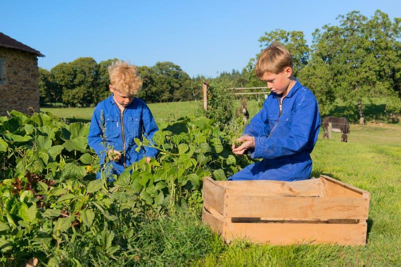 Landbouwbedrijfjongens die in moestuin oogsten stock foto's