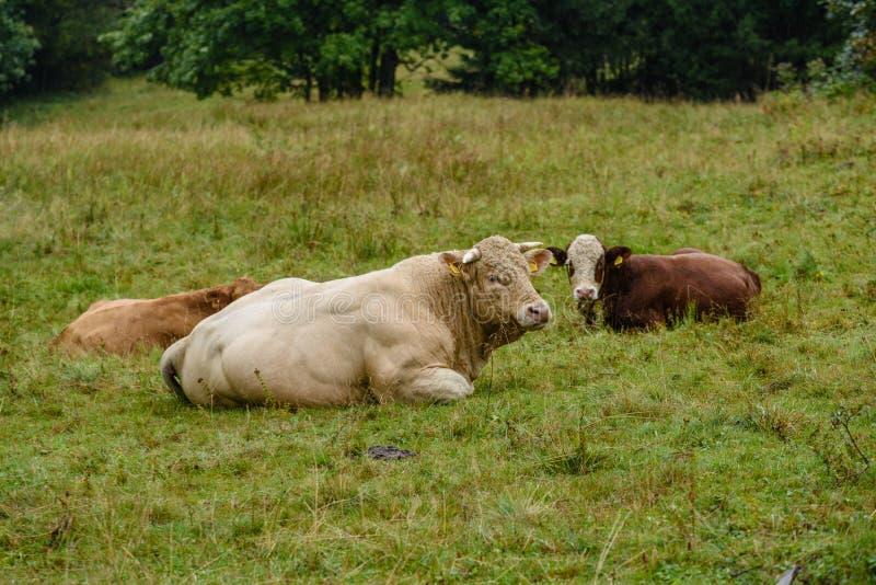 Landbouwbedrijfkoeien die in de weide dichtbij landbouwbedrijf rusten royalty-vrije stock foto's