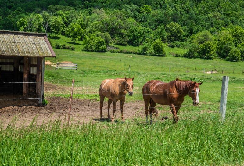 Landbouwbedrijfpaarden in het weiland royalty-vrije stock afbeelding