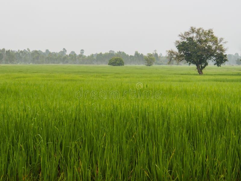 Landbouwbedrijfrijst in ochtend stock foto