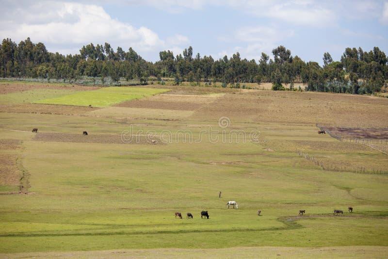 Landbouwbedrijven en landbouwbedrijfdieren in Ethiopië stock foto