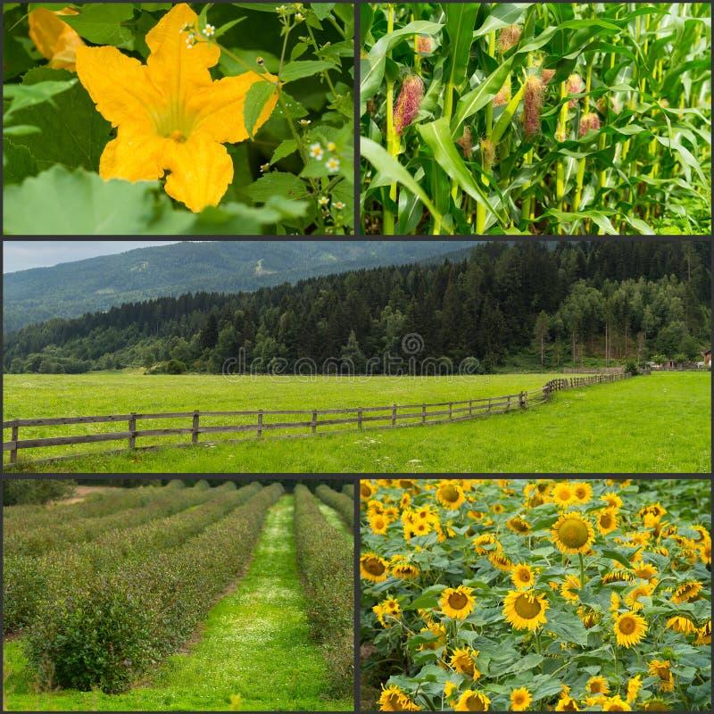 Landbouwcollage, landbouwgrond, graan, zonnebloemgebieden royalty-vrije stock afbeeldingen
