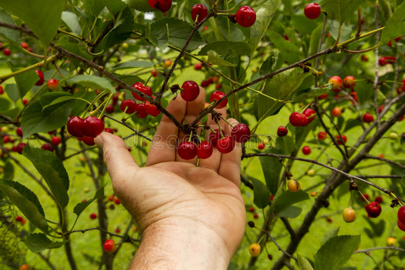 Landbouwer Checking His Cherry Trees Before Harvest royalty-vrije stock fotografie