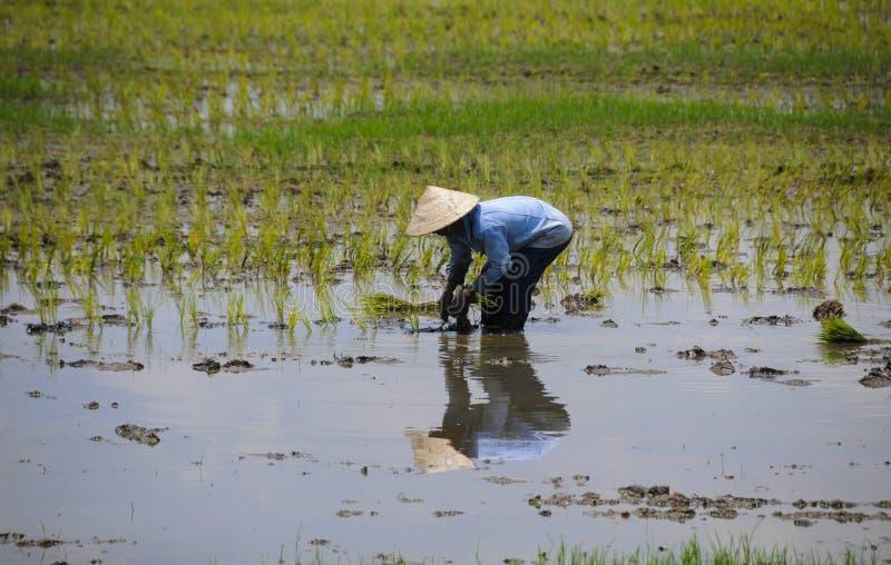 Landbouwer die aan de rijst van het padiegebied werken stock fotografie