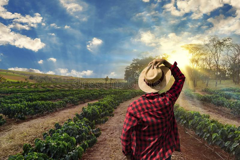 Landbouwer die aan koffiegebied bij zonsondergang werken openlucht stock foto