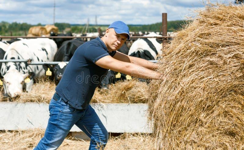 Landbouwer die aan landbouwbedrijf met melkkoeien werken royalty-vrije stock foto