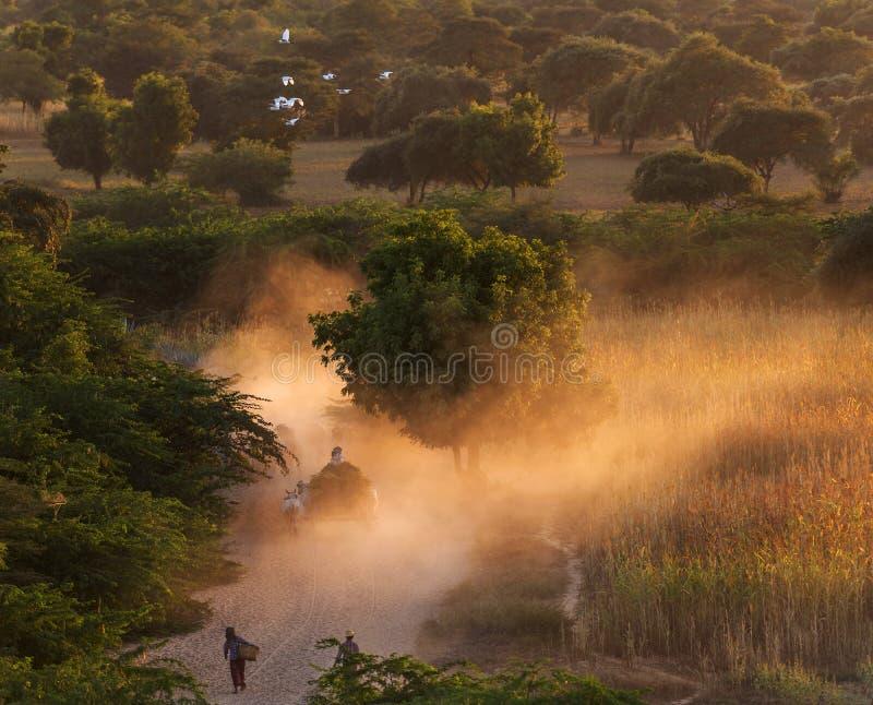 Landbouwer die cowherd tot haar dorp bij zonsondergang, Bagan, Myanmar leiden stock foto
