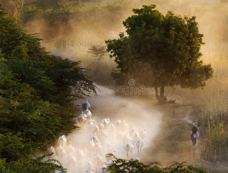 Landbouwer die cowherd tot haar dorp bij zonsondergang, Bagan, Myanmar leiden stock afbeeldingen