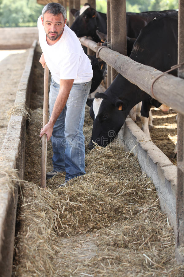 Landbouwer die de koeien voedt royalty-vrije stock foto's