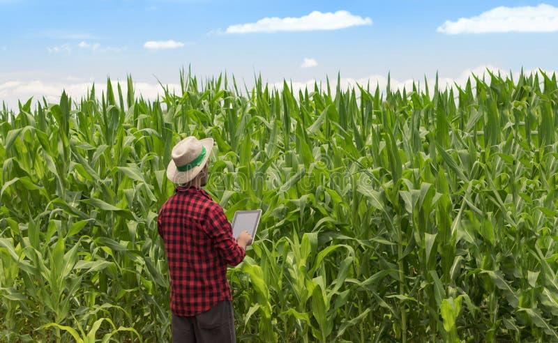 Landbouwer die digitale tabletcomputer in de gecultiveerde aanplanting van het graangebied met behulp van stock fotografie