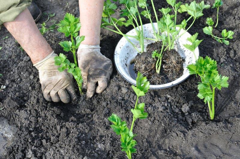 Landbouwer die een selderiezaailing planten stock fotografie