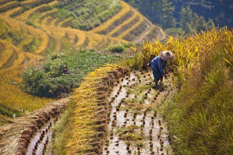 Landbouwer die in een terrasvormig padiepadieveld tijdens oogst werkt royalty-vrije stock fotografie