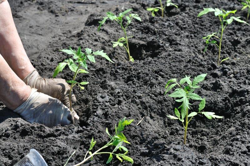 Landbouwer die een tomatenzaailing planten stock afbeelding