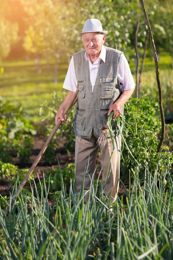 Landbouwer die groene uien in moestuin houden stock afbeelding