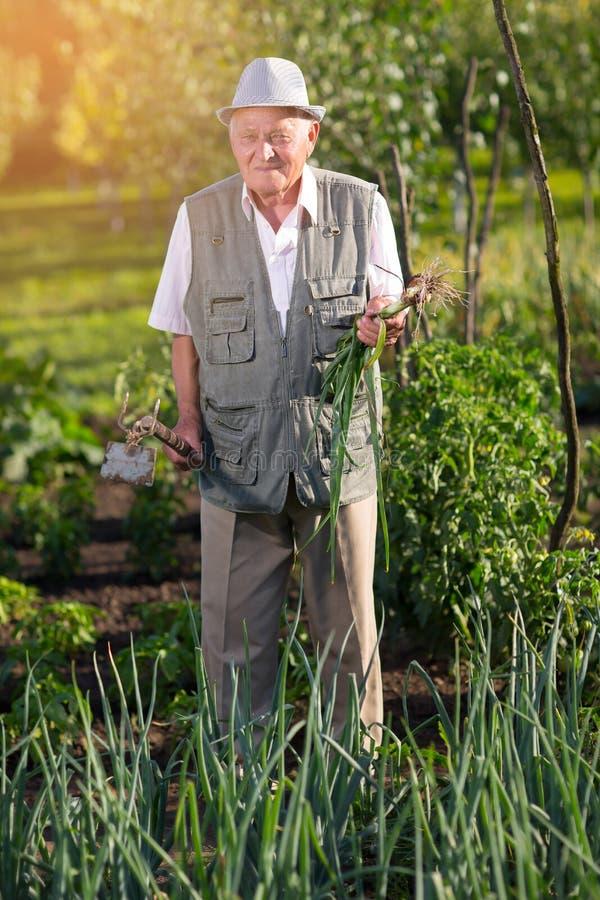 Landbouwer die groene uien in moestuin houden stock fotografie