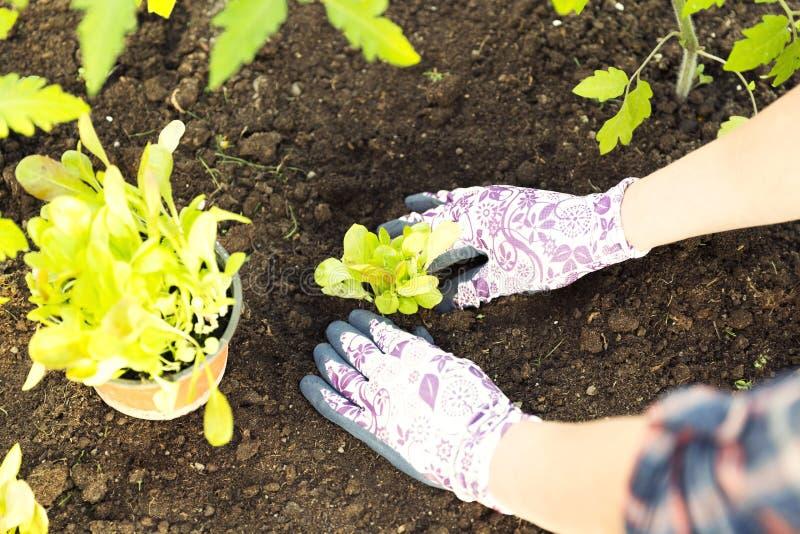 Landbouwer die jonge zaailingen van slasalade planten in vegetabl stock fotografie