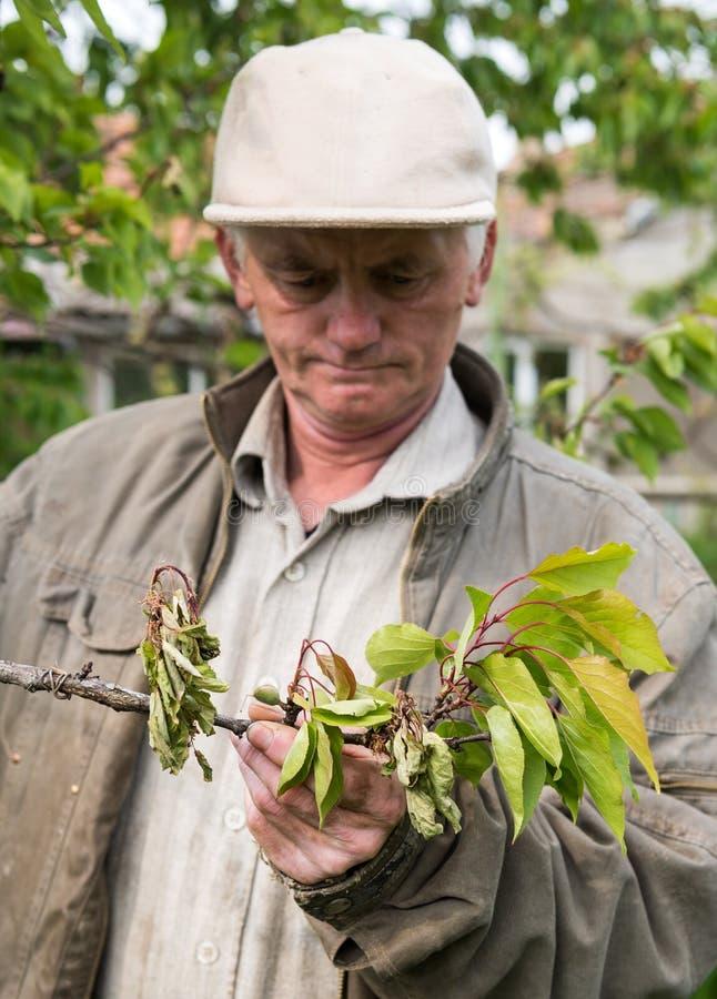 Landbouwer die kersenbomen onderzoeken royalty-vrije stock fotografie