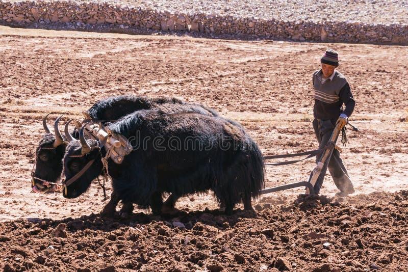 Landbouwer die landbouwgronden met yaks ploegen - Tibet stock fotografie