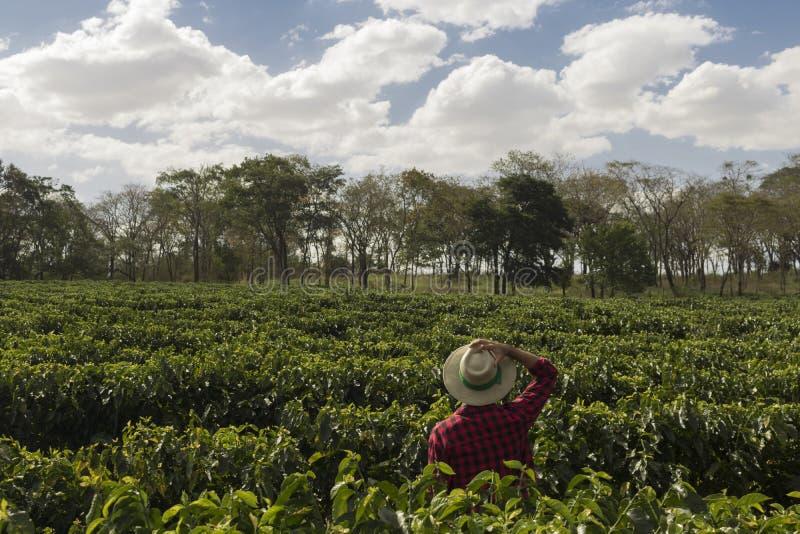 Landbouwer die met hoed het gebied van de koffieaanplanting kijken stock afbeelding