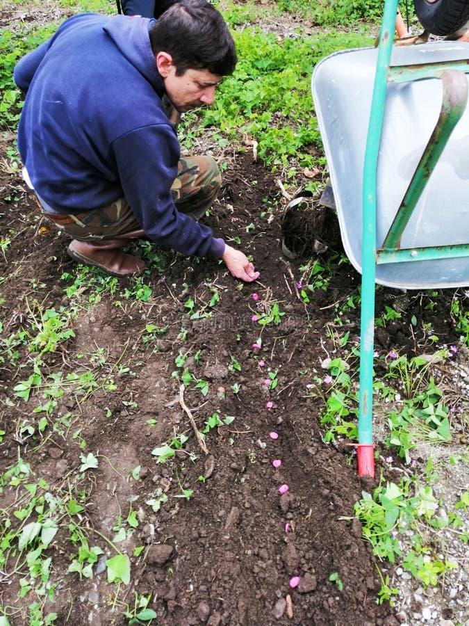 Landbouwer die op het werk tuinbonen zaaien royalty-vrije stock afbeeldingen