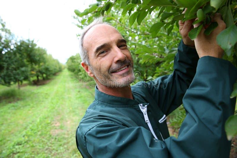 Landbouwer die pruimen in boomgaard behandelen stock afbeelding