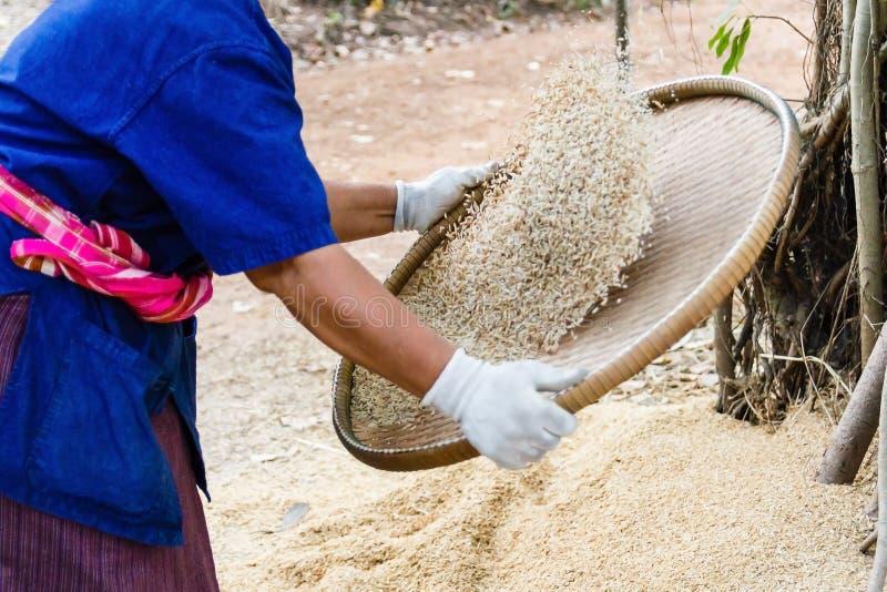 Landbouwer die rijst ziften stock foto