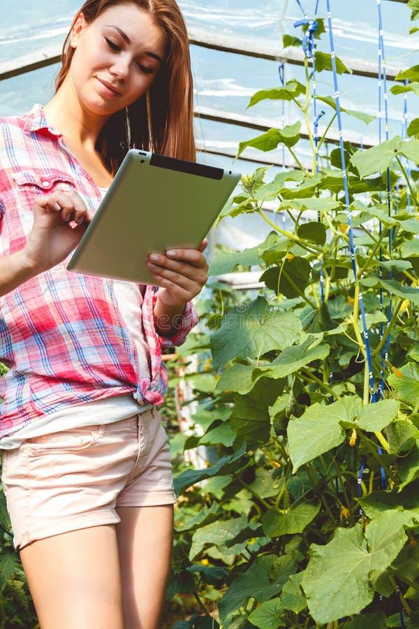 Landbouwer die in serre komkommerinstallaties controleren stock foto