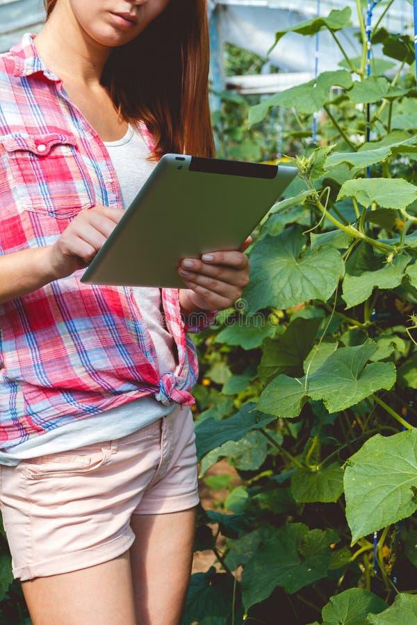Landbouwer die in serre komkommerinstallaties controleren stock afbeeldingen