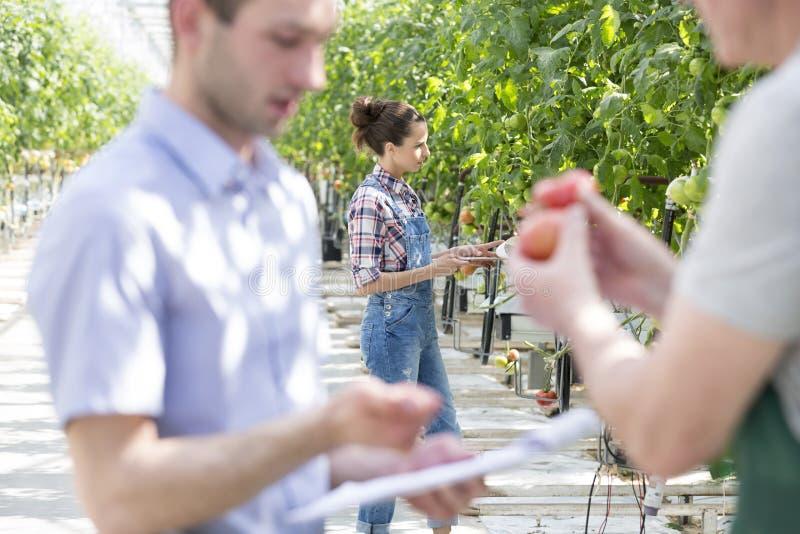 Landbouwer die tomatenplanten met mensen in voorgrond onderzoeken bij serre royalty-vrije stock foto's