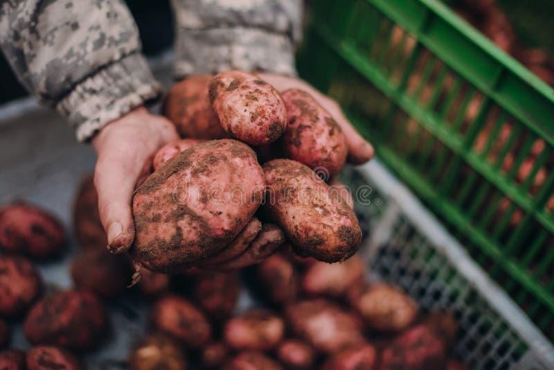 Landbouwer die verse aardappels in vuile ruwe handen houden Soilworkconcept royalty-vrije stock foto