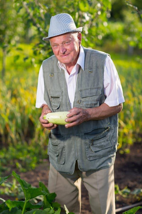 Landbouwer die verse courgette in moestuin houden royalty-vrije stock afbeelding
