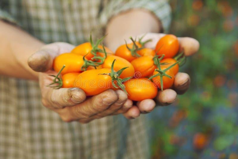 landbouwer die verse tomaat houdt stock foto