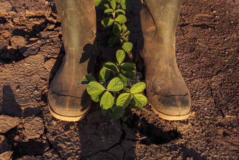 Landbouwer die zich boven jonge sojabooninstallaties bevinden stock afbeeldingen