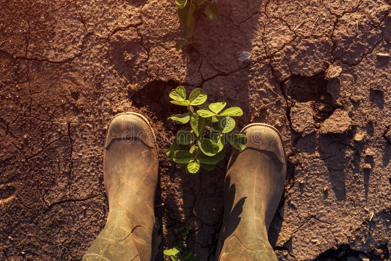 Landbouwer die zich boven jonge sojabooninstallaties bevinden stock foto