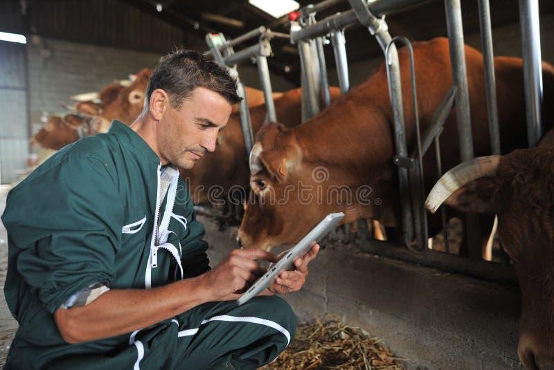 Landbouwer en koeien