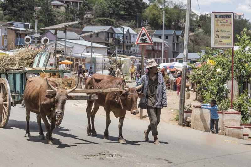 Landbouwer en Zeboes in Antsirabe, Madagascar stock afbeelding
